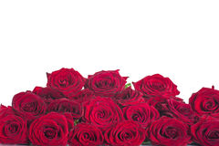 Beautiful red roses. On a white background stock photography