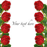 Beautiful red roses on white background, with space for text, can be used for card, invitation. Beautiful red roses on white background, with space for text, can Royalty Free Stock Image
