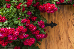 Beautiful red roses on a wooden background. Stock Photo