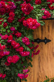 Beautiful red roses on a wooden background. Royalty Free Stock Photography