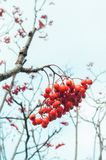 Red Rowan berries or Mountain ash in winter on white background. Beautiful Red Rowan berries or Mountain ash in winter on white background Royalty Free Stock Image
