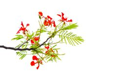 Beautiful red Royal Poinciana Delonix regia flower on its branch with green leaves isolated on white background. A Beautiful red Royal Poinciana Delonix regia royalty free stock images