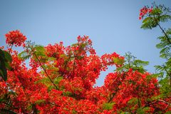 Beautiful red royal poinciana or flamboyant flower (Delonix regi. A). It is species of flowering plant in the bean family Fabaceaealso and also one of several Stock Image