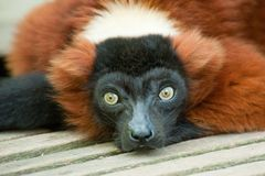 Beautiful red ruffed lemur Royalty Free Stock Photo