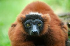 Beautiful red ruffed lemur Royalty Free Stock Photos