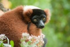 Beautiful red ruffed lemur Royalty Free Stock Photography