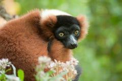 Beautiful red ruffed lemur Royalty Free Stock Photography
