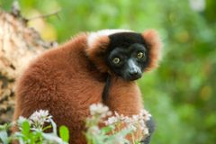 Beautiful red ruffed lemur Royalty Free Stock Image