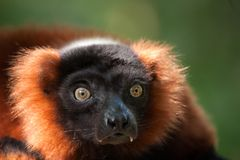 Beautiful red ruffed lemur Stock Photos