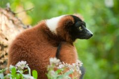 Beautiful red ruffed lemur Stock Photo