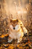 Beautiful red Shiba inu dog lying in the field at golden sunset. Close-up portrait of a beautiful red dog breed Shiba inu lying in the field at golden sunset royalty free stock photos