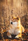 Beautiful red Shiba inu dog lying in the field at golden sunset. Profile portrait of a beautiful red dog breed Shiba inu lying in the field at golden sunset stock image