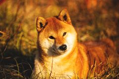 Beautiful red shiba inu dog lying on the grass in the forest at golden sunset. Close-up portrait of Beautiful and happy red dog breed shiba inu lying on the royalty free stock photos