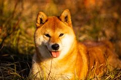 Beautiful red shiba inu dog lying on the grass in the forest at golden sunset. Close-up portrait of Beautiful and happy red dog breed shiba inu with tonque stock photo