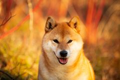Beautiful red shiba inu dog sitting on the grass in the forest at golden sunset. Close-up portraiit of Beautiful and happy japanese dog breed shiba inu sitting stock images