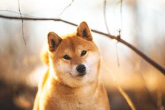 Beautiful red shiba inu dog standing on the grass in the forest at golden sunset in spring. Close-up portraiit of Beautiful and happy shiba inu dog standing on stock photo