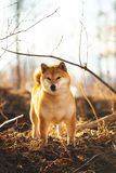 Beautiful red shiba inu dog standing in the grass in the forest at golden sunset in spring. Portrait of Beautiful and happy shiba inu dog standing in the grass royalty free stock image