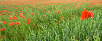 Beautiful red shining poppies after a thunderstorm. Rain drops on the flowers stock image