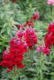 Beautiful red snapdragons in landscaped garden Stock Images