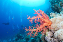 Beautiful red softcoral and diver. In the background in the red sea royalty free stock image