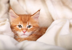 Beautiful red solid maine coon kitten covered in warm blanket an Royalty Free Stock Photography