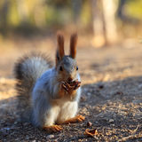 Beautiful red squirrel Royalty Free Stock Images