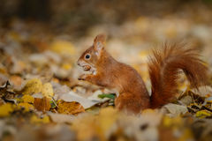 A beautiful red squirrel in autumn sunlight royalty free stock image