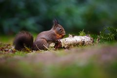 Red squirrel in a forest Royalty Free Stock Photography