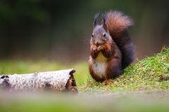 Red squirrel in a forest Royalty Free Stock Photos