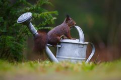 Red squirrel in a forest Stock Image
