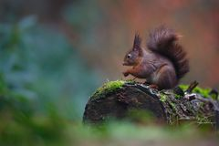 Red squirrel in a forest Royalty Free Stock Image