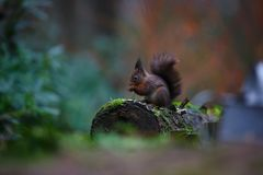 Red squirrel in a forest Royalty Free Stock Photo