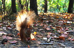 Beautiful red squirrel. Squirrel gnaws nut in the forest. Ore protein Stock Images