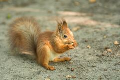 Free Beautiful Red Squirrel Is Eating Nuts In The Park. Close Up Shot Stock Image - 178622941
