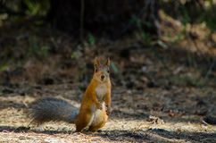 Beautiful red squirrel in the park is standing on the grass in t Royalty Free Stock Image