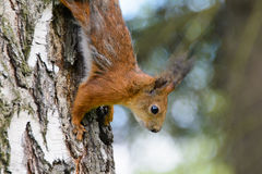 Beautiful red squirrel. Squirrel on the tree, wildlife, rodent in the forest, squirrel in the Park close, animal is a rodent, beautiful red squirrel royalty free stock photo
