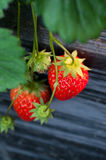 Beautiful red strawberries. Some fresh red strawberries in the field royalty free stock photos