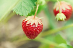 Beautiful red strawberries growing field. Garden berry macro view. shallow depth of field, soft selective focus. Beautiful red strawberries growing field Royalty Free Stock Photo
