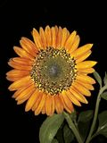 Beautiful Red Sunflower royalty free stock image