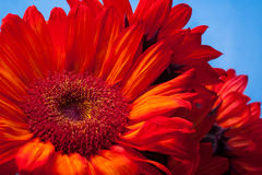 Beautiful red sunflowers. Simple and stunning red sunflowers against blue Stock Image