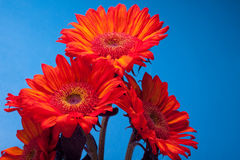Beautiful red sunflowers. Simple and stunning red sunflowers against blue royalty free stock photography