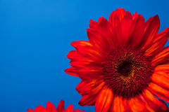 Beautiful red sunflowers. Simple and stunning red sunflowers against blue Royalty Free Stock Photo