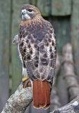 Beautiful Red Tail Hawk Royalty Free Stock Images