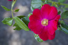 Beautiful Red Tea Rose Blazing in the Summer Sun. Beautiful wild tea rose basking in the summer sun with leafy background Royalty Free Stock Photography