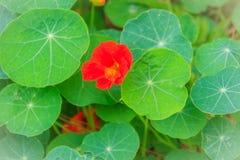 Beautiful red tropaeolum majus flower (nasturtium) with green ro Royalty Free Stock Images