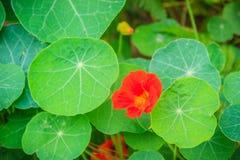 Beautiful red tropaeolum majus flower (nasturtium) with green ro Stock Images