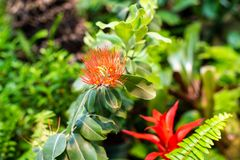 Beautiful red tropical flower surrounded by green leaves. In rainforest stock photography