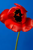Beautiful Red Tulip Royalty Free Stock Image