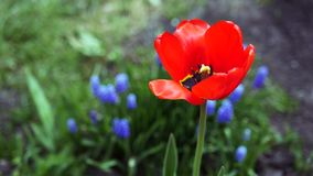 A beautiful red tulip against a background of green grass and blue flowers wobbles in the wind. slow motion. 1920x1080 stock video footage