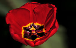 Beautiful  red tulip with a black centre. Black and yellow centre of a red tulip Stock Images